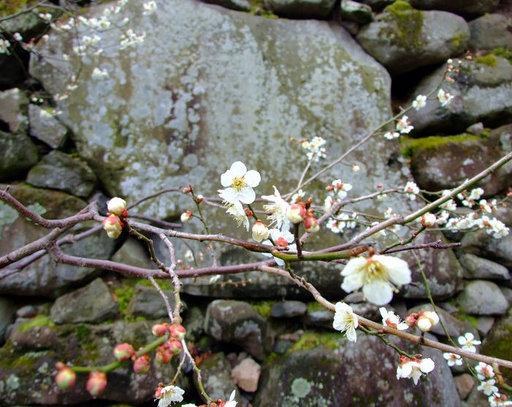 懐古園桜.jpg